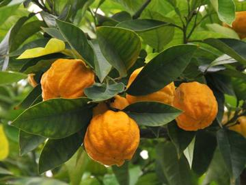 citrus aurantium o que é