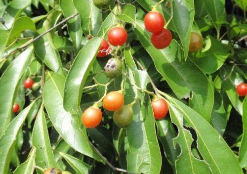 pholia magra planta